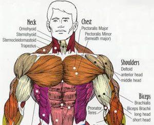 对于格斗哪些是最重要的肌肉